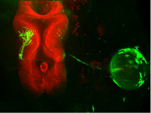 Ruthazer lab image